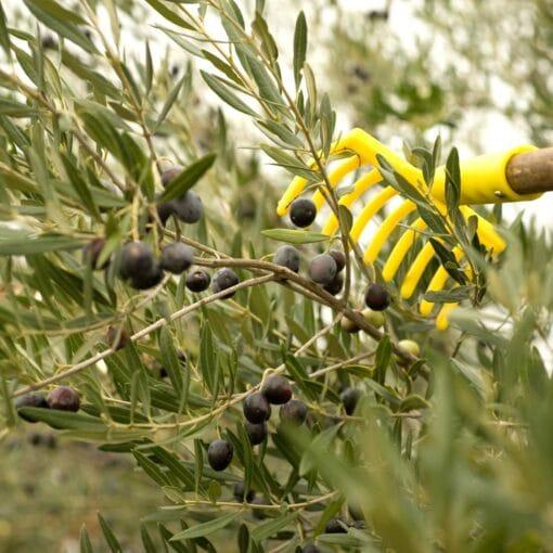 olijven plukken